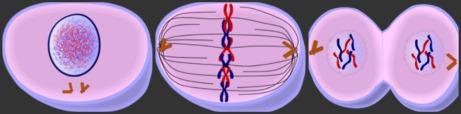 external image mitosis.jpg